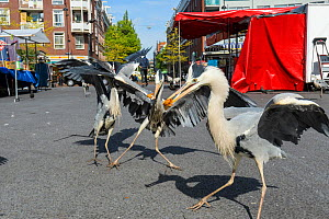Grey Herons ( Ardea cinerea) congregating around the fish stalls as city markets are closing, picking up scraps of food. Amsterdam, Netherlands. April.  -  Terry  Whittaker