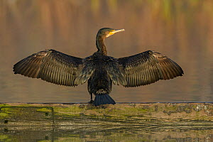 Cormorant (Phalacrocorax carbo) drying wings, Reddish Vale Country Park, Greater Manchester, UK. December. - Terry  Whittaker