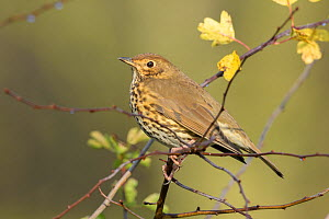Song Thrush (Turdus philomelos) perched, Reddish Vale Country Park, Greater Manchester, UK. December. - Terry  Whittaker