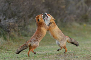 RF - Two Red foxes (Vulpes vulpes) on hind legs play fighting, Netherlands. (This image may be licensed either as rights managed or royalty free.)  -  Terry  Whittaker