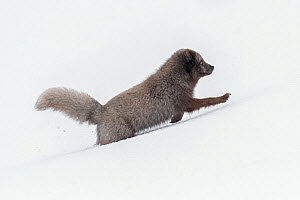 RF - Arctic fox (Vulpes lagopus) blue colour morph running through snow in the Hornstrandir Nature Reserve, Iceland. March (This image may be licensed either as rights managed or royalty free.) - Terry  Whittaker