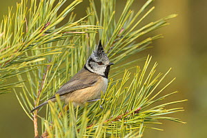 RF - Crested tit (Lophophanes cristatus) perched in pine tree on the Black Isle, Scotland. February (This image may be licensed either as rights managed or royalty free.) - Terry  Whittaker