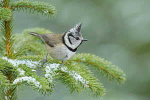 RF - Crested tit (Lophophanes cristatus) perched on snowy branch, Black Isle, Scotland. February (This image may be licensed either as rights managed or royalty free.)  -  Terry  Whittaker