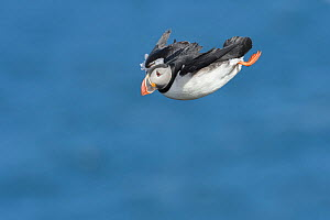 RF - Puffin (Fratercula arctica) flying, Northeast Iceland. (This image may be licensed either as rights managed or royalty free.) - Terry  Whittaker
