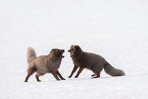 RF - Arctic foxes (Vulpes lagopus) interacting Blue colour morph. Hornstrandir Nature Reserve, Iceland. March. (This image may be licensed either as rights managed or royalty free.)  -  Terry  Whittaker