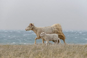 RF - Domestic sheep, ewe with lamg, along the coast on the Langanes peninsula, northeast Iceland. May. (This image may be licensed either as rights managed or royalty free.)  -  Terry  Whittaker