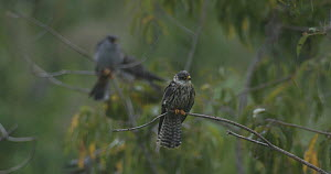 Amur falcon (Falco amurensis) shaking its feathers, part of a large group congregating during their migration from Siberia to Africa, near Doyang reservoir, Nagaland, India, October.  -  Sandesh  Kadur