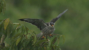 Amur falcon (Falco amurensis) stretching wings and ruffling feathers in the rain, part of a large group congregating during their migration from Siberia to Africa, near Doyang reservoir, Nagaland, Ind...  -  Sandesh  Kadur