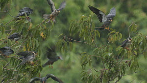 Amur falcons (Falco amurensis) settling to roost in the rain, part of a large group congregating during their migration from Siberia to Africa, near Doyang reservoir, Nagaland, India, October.  -  Sandesh  Kadur