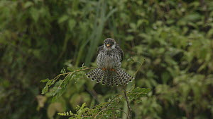 Slow motion clip of an Amur falcons (Falco amurensis) shaking and ruffling feathers, part of a large flock congregating during their migration from Siberia to Africa, near Doyang reservoir, Nagaland,...  -  Sandesh  Kadur