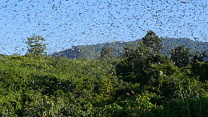 Slow motion clip of a large group of Amur falcons (Falco amurensis) congregating during their migration from Siberia to Africa, near Doyang reservoir, Nagaland, India, October.  -  Sandesh  Kadur