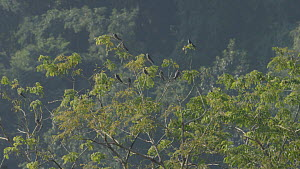Amur falcons (Falco amurensis) gathering to roost in a tree during their migration from Siberia to Africa, near Doyang reservoir, Nagaland, India, October.  -  Sandesh  Kadur
