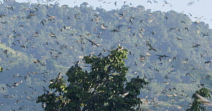 Slow motion clip of Amur falcons (Falco amurensis) congregating at roost site during their migration from Siberia to Africa, near Doyang reservoir, Nagaland, India, October. - Sandesh  Kadur
