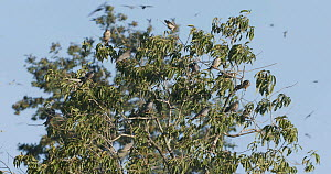 Amur falcons (Falco amurensis) roosting in a tree during their migration from Siberia to Africa, near Doyang reservoir, Nagaland, India, October. - Sandesh  Kadur