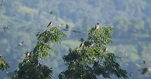 Slow motion clip of Amur falcons (Falco amurensis) congregating during their migration from Siberia to Africa, with some roosting in a tree, near Doyang reservoir, Nagaland, India, October.  -  Sandesh  Kadur