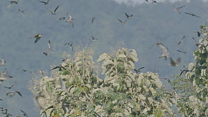 Slow motion clip of Amur falcons (Falco amurensis) congregating during their migration from Siberia to Africa, near Doyang reservoir, Nagaland, India, October. - Sandesh  Kadur