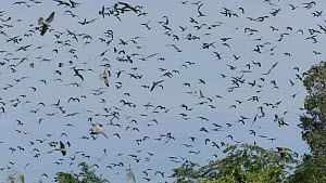 Slow motion clip of a large flock of Amur falcons (Falco amurensis) congregating during their migration from Siberia to Africa, near Doyang reservoir, Nagaland, India, October. - Sandesh  Kadur