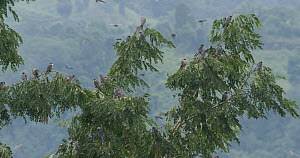 Amur falcons (Falco amurensis) congregating during their migration from Siberia to Africa, with soome roosting in a tree, near Doyang reservoir, Nagaland, India, October. - Sandesh  Kadur