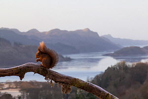 Red Squirrel (Sciurus vulgaris) on branch with loch and Celtic Atlantic oak rainforest in back ground, Scotland, UK, February.  -  SCOTLAND: The Big Picture