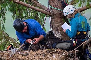 People ringing White tailed eagle (Haliaeetus albicilla) chicks in nest and taking biological measurements. Mull, Scotland, UK, June  -  SCOTLAND: The Big Picture