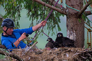 People ringing White tailed eagle (Haliaeetus albicilla) chicks in nest and taking biological measurements. Mull, Scotland, UK, June.  -  SCOTLAND: The Big Picture