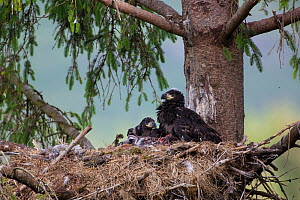 White tailed eagle (Haliaeetus albicilla) pair of chicks in nest, with foot of sea bird visible, Scotland, UK, June.  -  SCOTLAND: The Big Picture