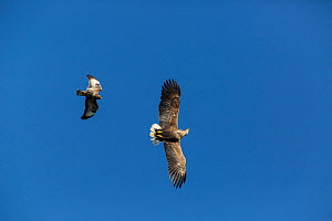 Buzzard( buteo buteo) mobbing White Tailed Eagle (Haliaeetus albicilla) flying against blue sky fighting, Scotland, UK, June. - SCOTLAND: The Big Picture