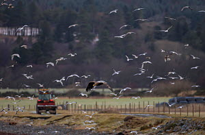 White tailed eagle (Haliaeetus albicilla) hunting gulls on farmland with tractor in background, Scotland, UK, January.  -  SCOTLAND: The Big Picture