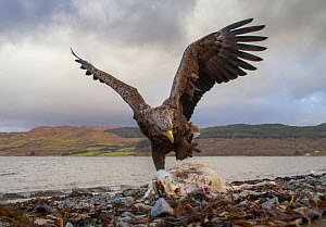 White-tailed eagle (Haliaeetus albicilla) adult feeding on sheep carcass on beach, Isle of Mull, Scotland, UK, January.  -  SCOTLAND: The Big Picture