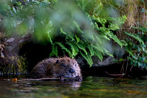 Beaver (Castor fiber) eating bark from branch with foliage and ferns around it, l in water, Scotland, UK, June. - SCOTLAND: The Big Picture