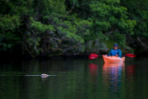 Beaver (Castor fiber) swimming with kayaker watching behind. Knapdale, Scotland, UK, June. - SCOTLAND: The Big Picture