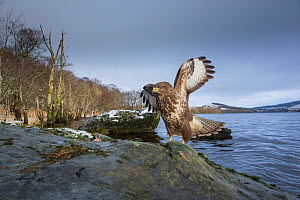 Common buzzard (Buteo buteo) on rock with loch and Celtic rainforest in back ground, Scotland, UK, January. - SCOTLAND: The Big Picture
