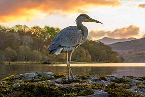 Grey Heron (Ardea cinerea) hunting for food on moss with loch and Celtic rainforest in back ground, Scotland, UK, October.  -  SCOTLAND: The Big Picture