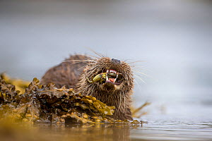 Otter (Lutra lutra) close up feeding on crab, Argyll, Scotland, UK, August. - SCOTLAND: The Big Picture