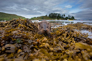 Otter (Lutra lutra) portrait on shore with boats in background. Argyll, Scotland, UK, August.  -  SCOTLAND: The Big Picture