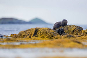 Otter (lutra lutra) on seaweed covered rocks with islands behind, Argyll, Scotland, UK, September.  -  SCOTLAND: The Big Picture