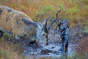 Red Deer (Cervus elaphus) covering itself in mud from a muddy puddle after urinating in it in order to smell strong and warn off rivals, Scotland, UK, October. - SCOTLAND: The Big Picture