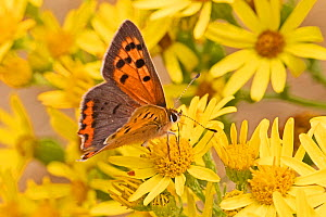 Male small copper butterfly (Lycaena phlaeas), feeding on common ragwort, Sutcliffe Park Nature Reserve, Eltham, London, England, July  -  Rod Williams