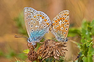 Mating pair of common blue butterflies (Polyommatus icarus) on dried thistle head, Sutcliffe Park Nature Reserve, Eltham, London, England, August - Rod Williams
