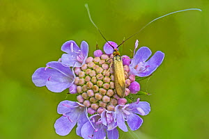 Brassy longhorn moth (Nemophora metallica) feeding on small scabious (Scabiosa columbaria), Hutchinson's Bank, New Addington, London, England, August - Rod Williams