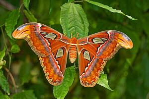 Female Atlas moth (Attacus atlas) occurs in South, East and South-east Asia  -  Rod Williams