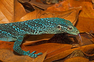 Blue-spotted tree monitor (Varanus macraei), Batanta Island, West Papua, captive - Rod Williams
