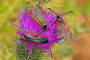 Six-spot burnet moths (Zygaena filipendulae) feeding on creeping thistle, Sutcliffe Park Nature Reserve, Eltham, London, England, July  -  Rod Williams