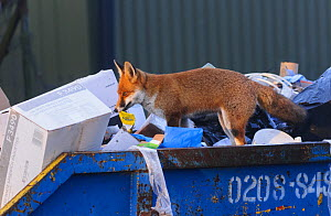 Red Fox (Vulpes vulpes) scavenging for food in a rubbish skip. London, UK. November  -  Oscar Dewhurst