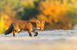 Red Fox (Vulpes vulpes), hunting in the frost, London, UK. November - Oscar Dewhurst