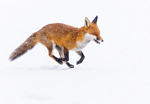 Red Fox (Vulpes vulpes) running through deep snow. London, UK. January  -  Oscar Dewhurst
