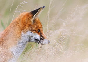 Red Fox (Vulpes vulpes) watching prey through long grass. London, UK. November - Oscar Dewhurst