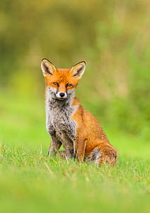 Red Fox (Vulpes vulpes) sitting on grass bank. London, UK. October  -  Oscar Dewhurst
