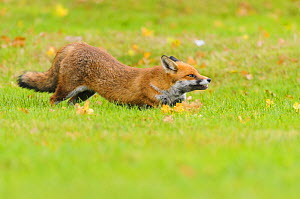 Red Fox (Vulpes vulpes) yawning and stretching. London, UK. October - Oscar Dewhurst