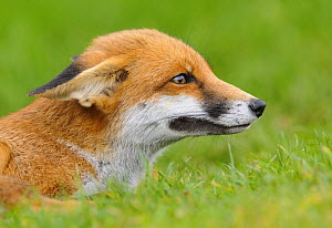 Red Fox (Vulpes vulpes) portrait with ears in submissive position. London, UK. October - Oscar Dewhurst